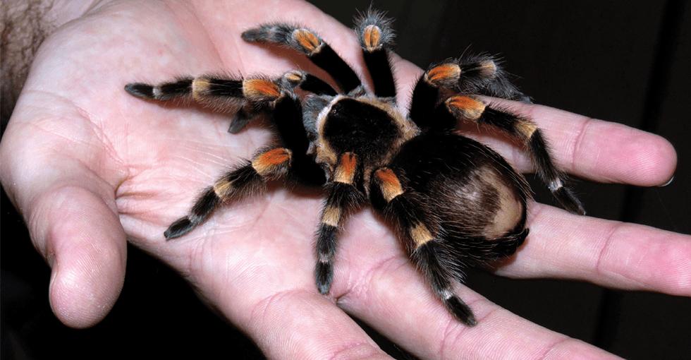 edderkopp i hånd