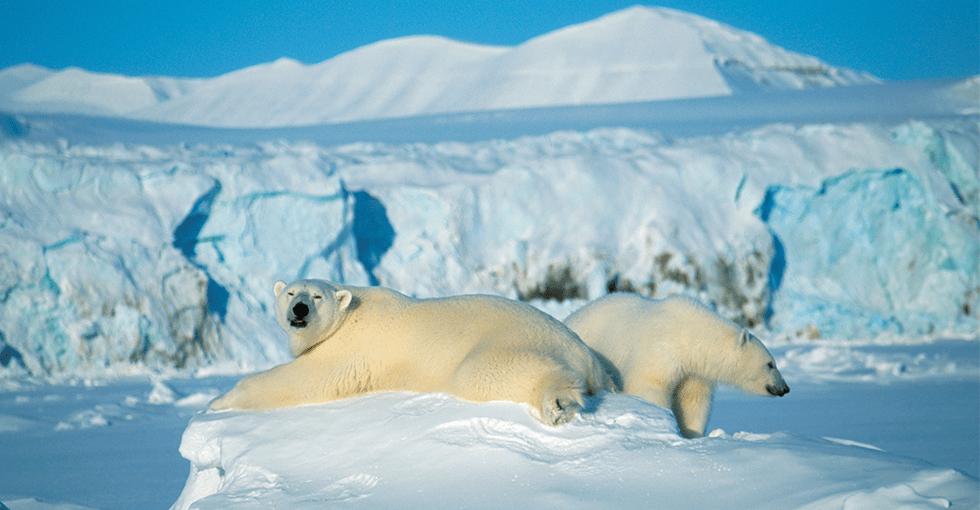 to isbjørner som soler seg