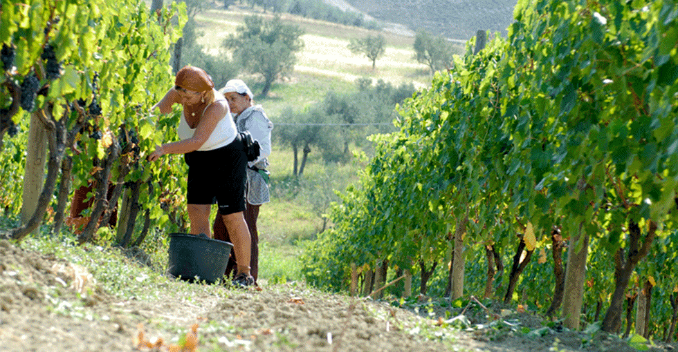 druinnhøsting