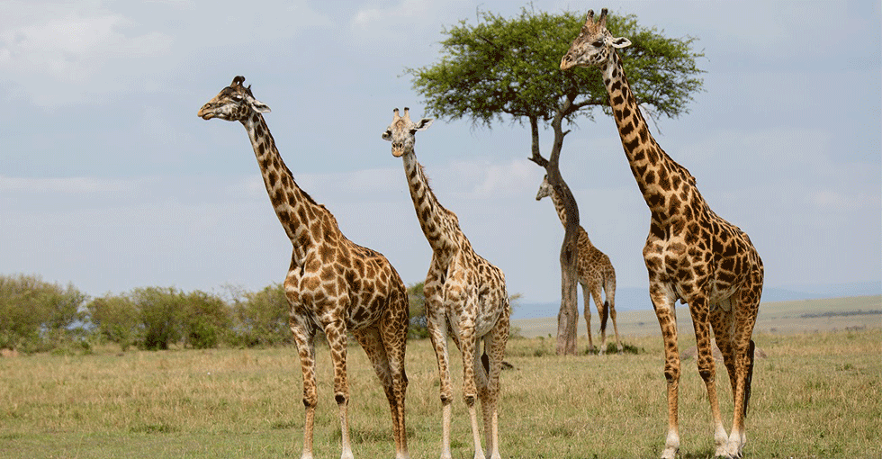 giraffer på steppen