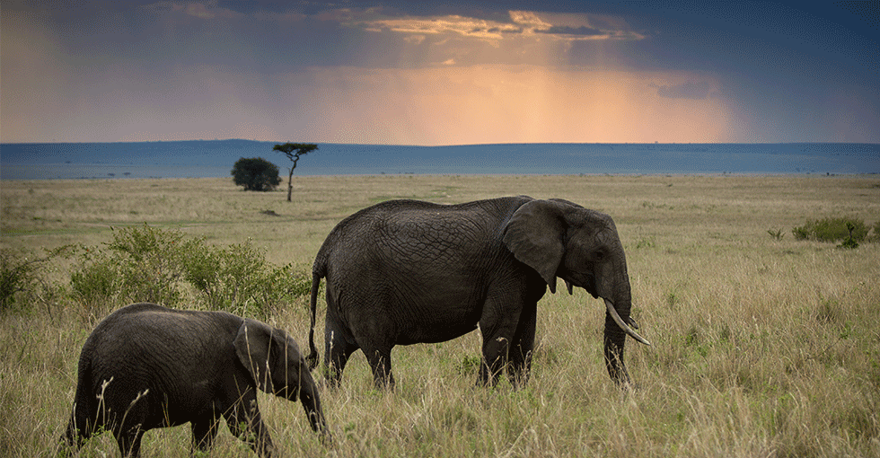 elefanter i solnedgang