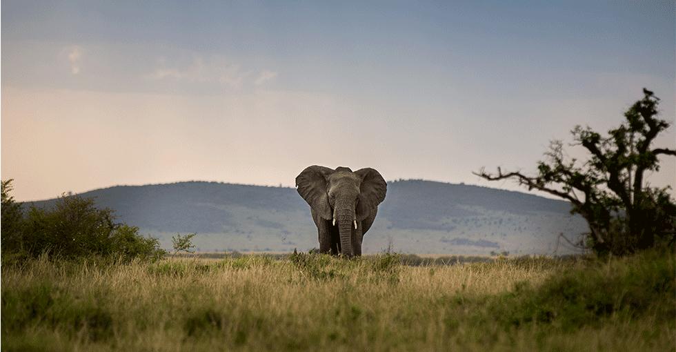elefant på steppen