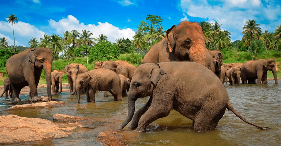 Elefanter i Sri Lanka