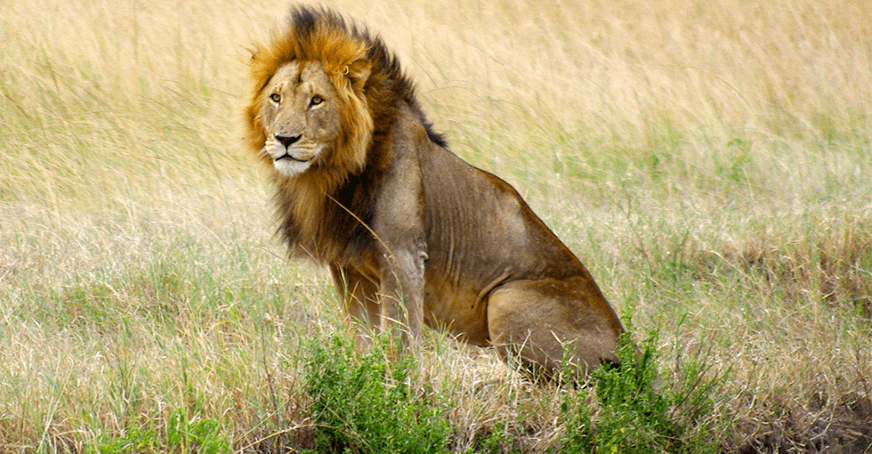 hannløve som sitter i tørt gress