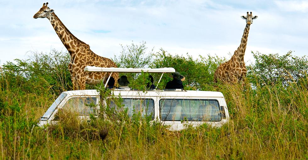 safaribil og giraffer