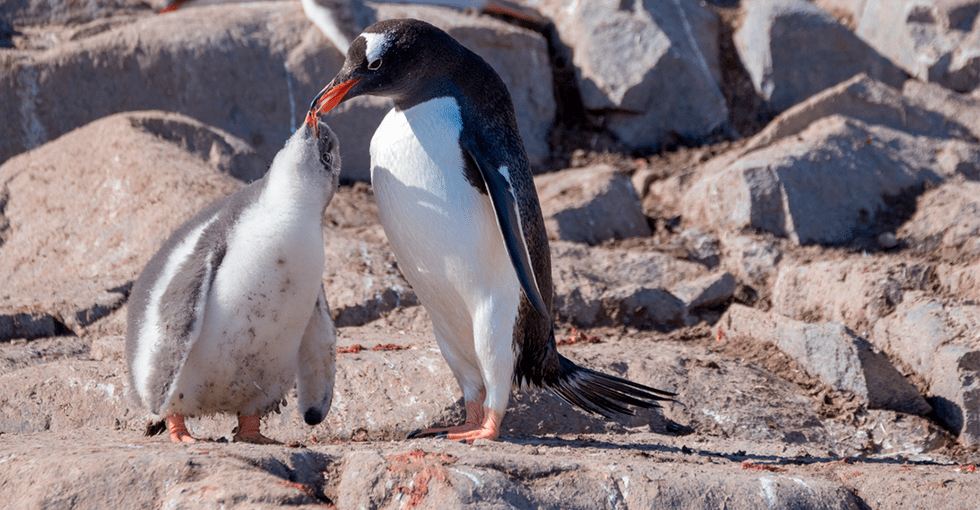 pingvin som gir sin unge mat