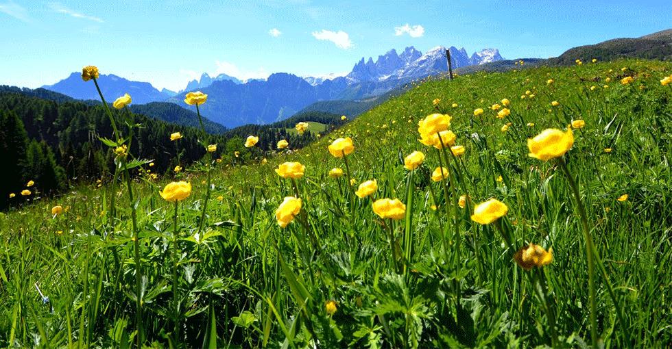 gule blomster i Val di Fiemme